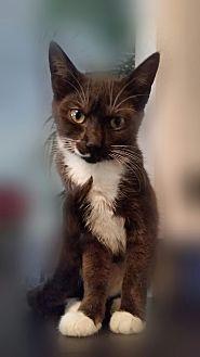 Domestic Shorthair Kitten for adoption in Ocala, Florida - Presto