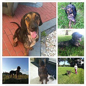 Coonhound Mix Dog for adoption in Davie, Florida - Moe