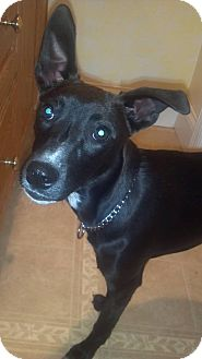 Terrier (Unknown Type, Small)/Italian Greyhound Mix Puppy for adoption in Morgantown, West Virginia - Jersey