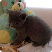 Adopt A Pet :: Kittens Available - Arlington, VA
