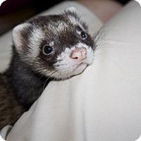 Adopt A Pet :: Sundance - Chantilly, VA
