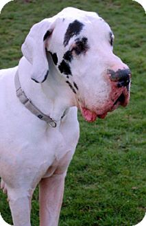 Great Dane Dog for adoption in Pearl River, New York - Paul