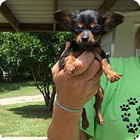 Adopt A Pet :: Amorette - Groton, MA
