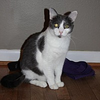 Domestic Shorthair Cat for adoption in Flower Mound, Texas - Little Cat