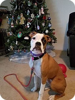 Boxer Puppy for adoption in Waterford, Michigan - Sydney