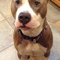 Adopt A Pet :: Rocky - Chalfont, PA
