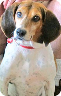 Treeing Walker Coonhound/Beagle Mix Dog for adoption in Tampa, Florida - Josie II