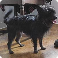 Adopt A Pet :: Benji - House Springs, MO