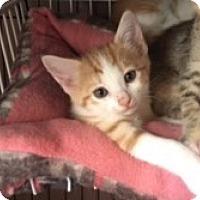 Adopt A Pet :: Chedder - Tucson, AZ