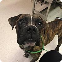 Adopt A Pet :: Zeus - Brentwood, TN