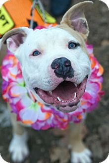 Pit Bull Terrier/American Bulldog Mix Dog for adoption in Hillsborough, New Jersey - Carmel