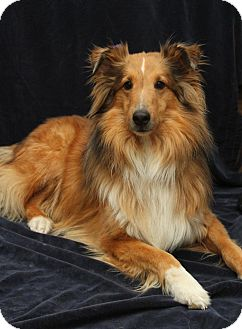 Sheltie, Shetland Sheepdog Dog for adoption in Wichita, Kansas - Tyler