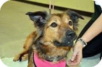 Collie/German Shepherd Dog Mix Dog for adoption in Kingwood, Texas - Greta
