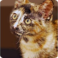Adopt A Pet :: Cinnamon - Encinitas, CA