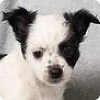 Adopt A Pet :: Bowie - Minneapolis, MN