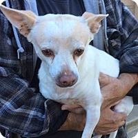 Chihuahua Mix Dog for adoption in Simi Valley, California - Ike