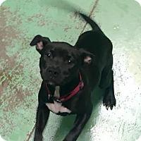 Adopt A Pet :: Akita - Gadsden, AL