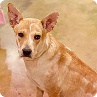 Adopt A Pet :: Julie - San Antonio, TX