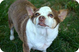 Chihuahua Mix Dog for adoption in Xenia, Ohio - Margo