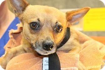 Chihuahua Dog for adoption in Charleston, South Carolina - Chico