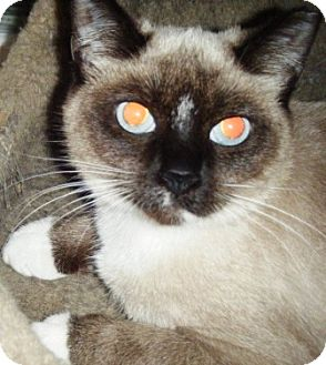 Siamese Kitten for adoption in Kensington, Maryland - Phoebe