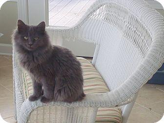 Domestic Longhair Kitten for adoption in Bedford, Virginia - Tom