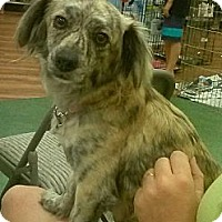 Chihuahua/Dachshund Mix Dog for adoption in West Palm Beach, Florida - Twinkle