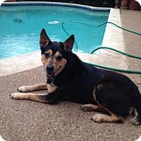 Adopt A Pet :: Carla - Irving, TX
