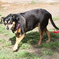 Adopt A Pet :: Prissy - Summerville, SC