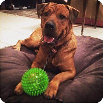 Shar Pei/Labrador Retriever Mix Dog for adoption in Davie, Florida - Hulk