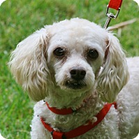 Poodle (Miniature) Mix Dog for adoption in Carlsbad, California - Alvin
