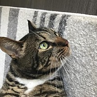 Domestic Shorthair Cat for adoption in Campbell, California - Mimi