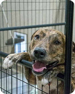 Plott Hound/Labrador Retriever Mix Dog for adoption in Sumter, South Carolina - Tanner