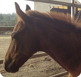Quarterhorse/Grade Mix for adoption in Sac, California - Bandit