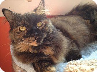 Domestic Mediumhair Cat for adoption in Alexandria, Virginia - Frenchy