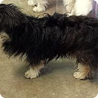 Adopt A Pet :: Shorty - Phoenix, AZ