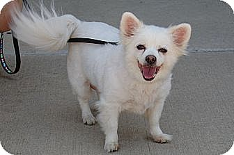Pomeranian/Chihuahua Mix Dog for adoption in Northville, Michigan - Missy