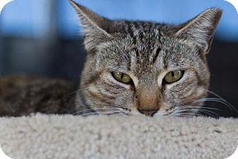 Domestic Shorthair Cat for adoption in Bradenton, Florida - Ginny