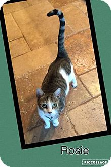 Domestic Shorthair Cat for adoption in Scottsdale, Arizona - Rosie