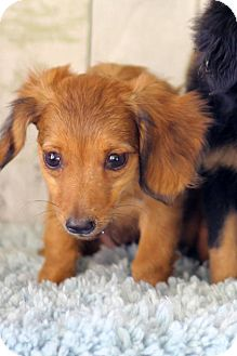 Chihuahua Mix Puppy for adoption in Waldorf, Maryland - Taquito