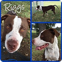 Pit Bull Terrier Dog for adoption in Alvarado, Texas - RIGGS