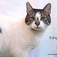 Domestic Shorthair Cat for adoption in St Louis, Missouri - Kringle