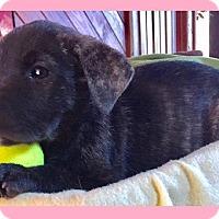 Adopt A Pet :: Potpie - Little Rock, AR