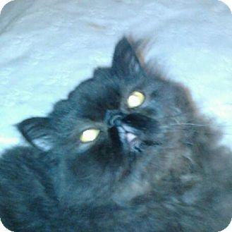 Persian Cat for adoption in Columbus, Ohio - Delaney