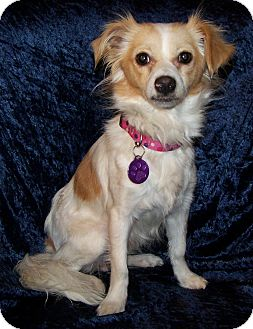 Chihuahua/Terrier (Unknown Type, Small) Mix Dog for adoption in San Angelo, Texas - Lula