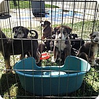 Adopt A Pet :: Puppies!! - Hamilton, ON