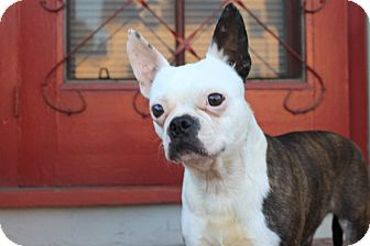 Boston Terrier Dog for adoption in San Francisco, California - Poppy