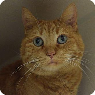 Domestic Shorthair Cat for adoption in Denver, Colorado - Patty