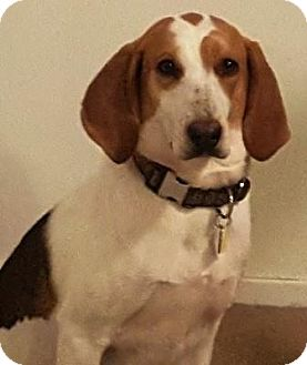 Beagle/Hound (Unknown Type) Mix Dog for adoption in Lexington, Massachusetts - Sunny