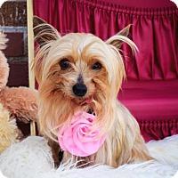 Yorkie, Yorkshire Terrier Dog for adoption in St. Louis Park, Minnesota - Shoshi